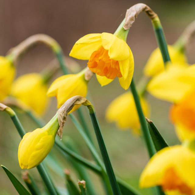 """Verge daffodils ii"" stock image"