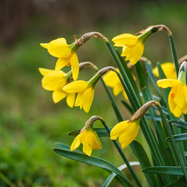"""""""Verge daffodils iii"""" stock image"""