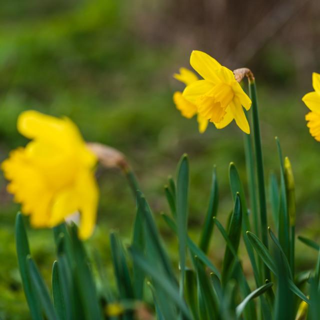 """Verge daffodils iv"" stock image"