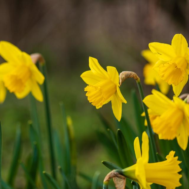 """Verge daffodils v"" stock image"