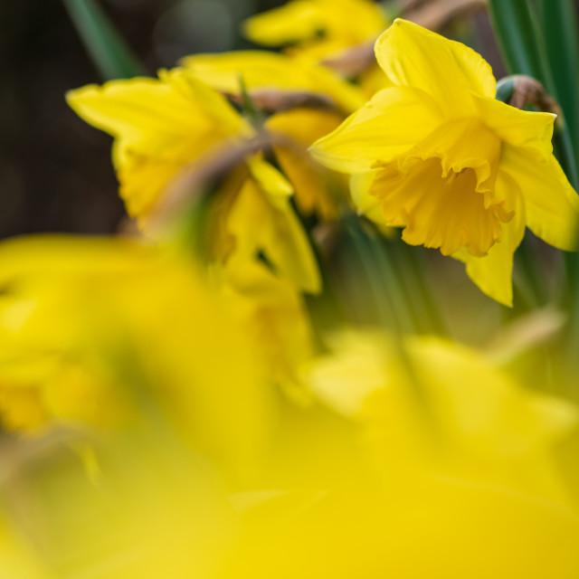 """Verge daffodils vii"" stock image"