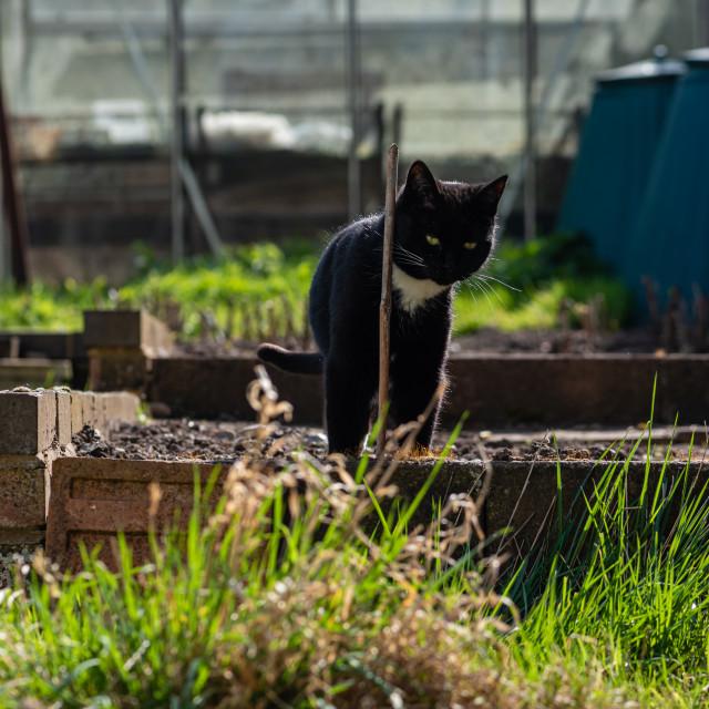 """""""Tuxedo cat in garden ii"""" stock image"""