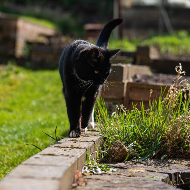 """""""Tuxedo cat in garden iii"""" stock image"""