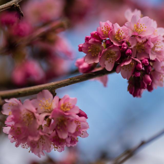 """""""Cherry blossom, blue sky"""" stock image"""