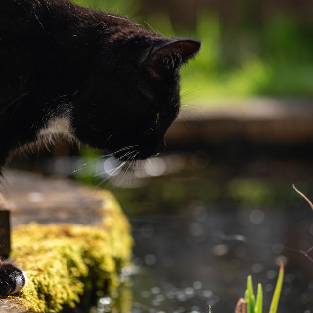 """Tuxedo cat in garden iv at pond"" stock image"