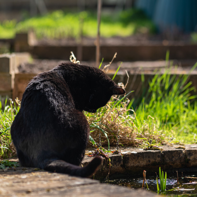 """Tuxedo cat in garden v at pond"" stock image"