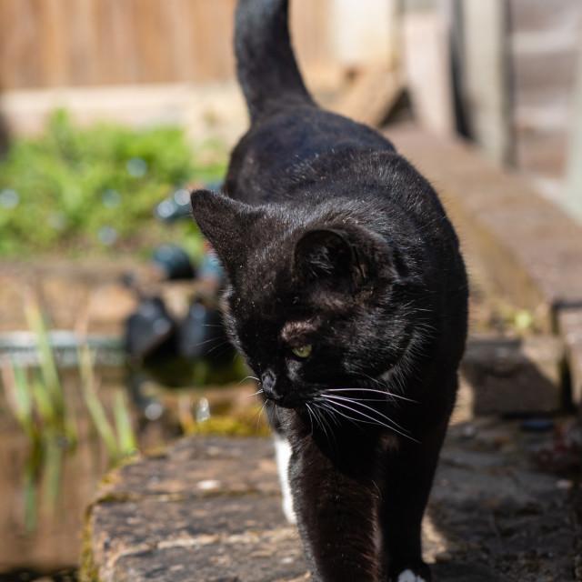 """""""Tuxedo cat in garden i"""" stock image"""