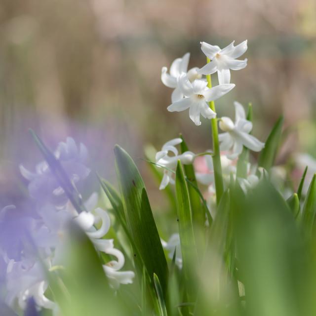 """Hyacinthus - Garden Hyacinths ii"" stock image"