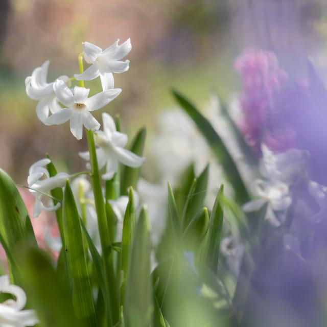 """Hyacinthus - Garden Hyacinths i"" stock image"