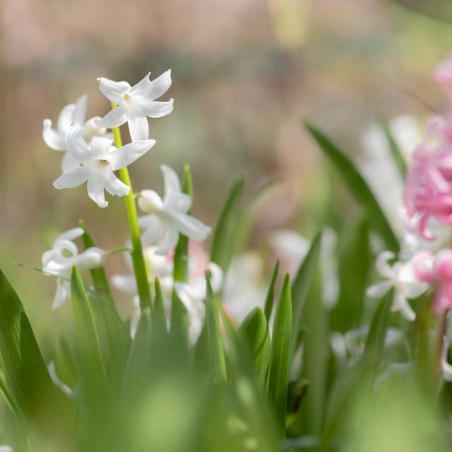 """""""Hyacinthus - Garden Hyacinths iii"""" stock image"""