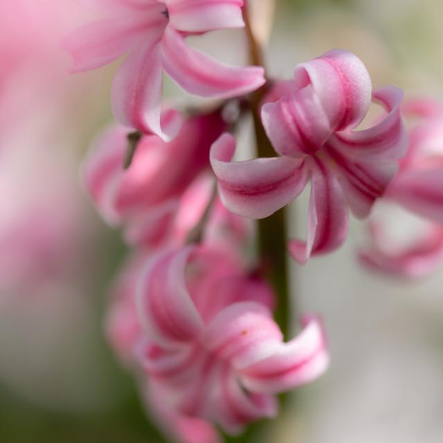 """Hyacinthus - Garden Hyacinths iv"" stock image"