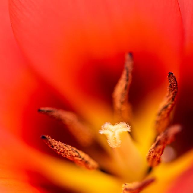 """Tulipa - Tulip centre close up i"" stock image"