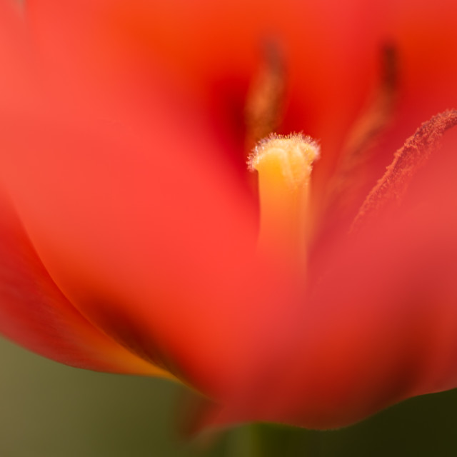 """Tulipa - Tulip centre close up iii"" stock image"