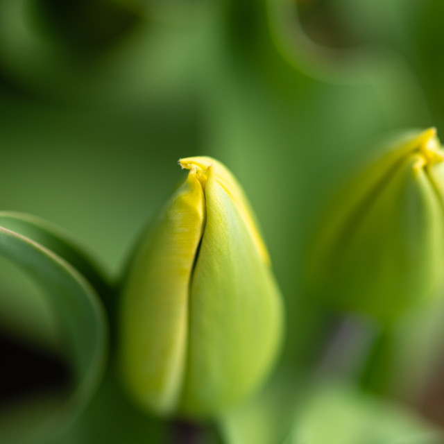 """""""Tulipa - Unopened tulip buds"""" stock image"""