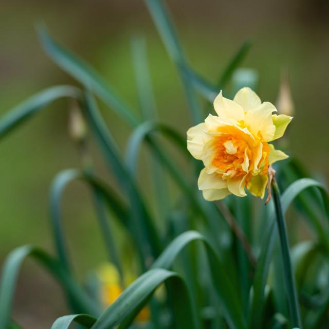 """""""Wild daffodil"""" stock image"""