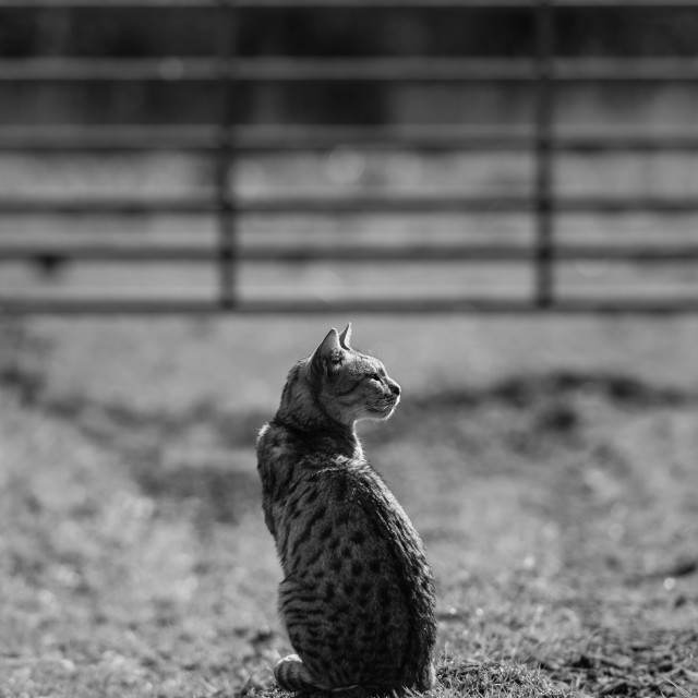 """""""Spotted farm cat by farm gate iv sitting-mono"""" stock image"""