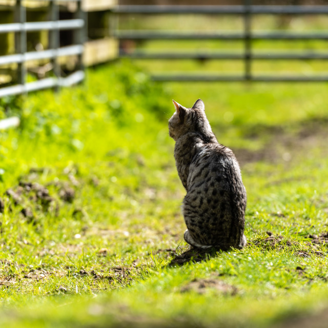 """""""Spotted farm cat by farm gate ii sitting"""" stock image"""