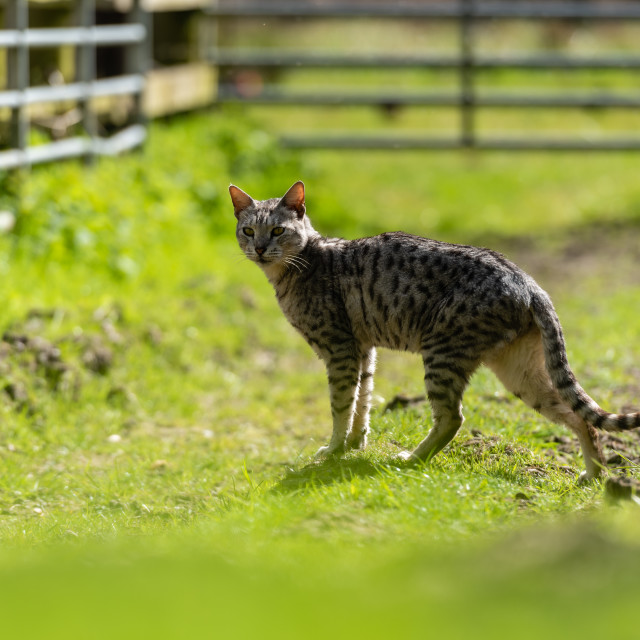 """""""Spotted farm cat by farm gate i standing"""" stock image"""
