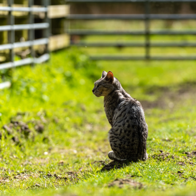 """""""Spotted farm cat by farm gate iii sitting"""" stock image"""