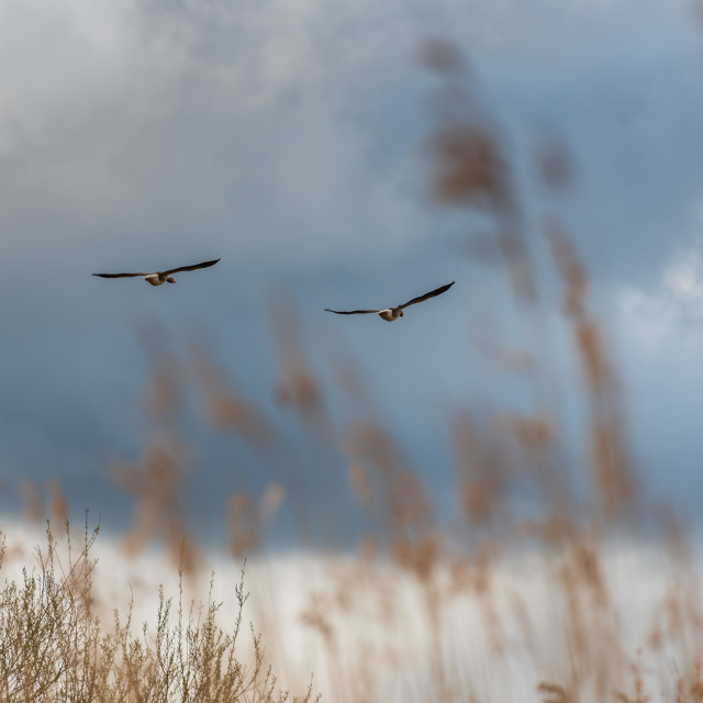 """""""Pair of Greylag geese flying over reeds"""" stock image"""