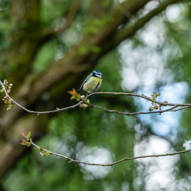 """""""Great Tit perched on twigs ii"""" stock image"""