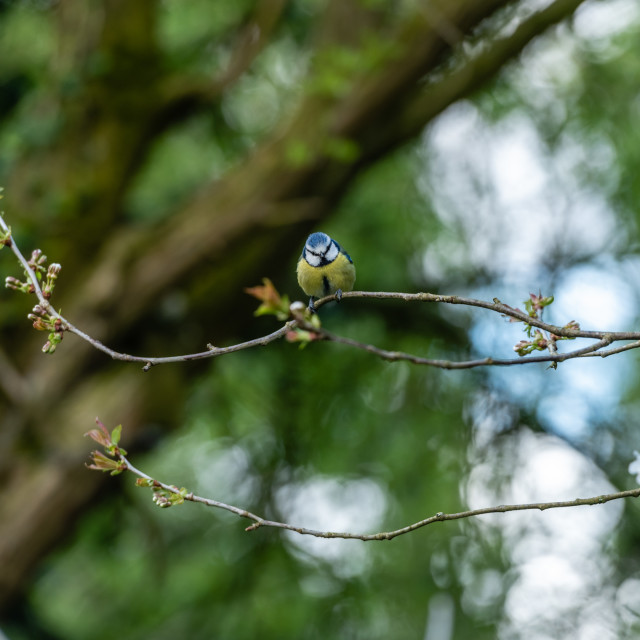 """""""Great Tit perched on twigs i"""" stock image"""