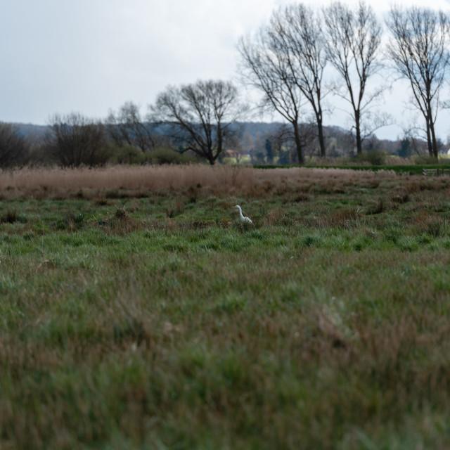 """Distant Great White Egret stalking in marshland"" stock image"