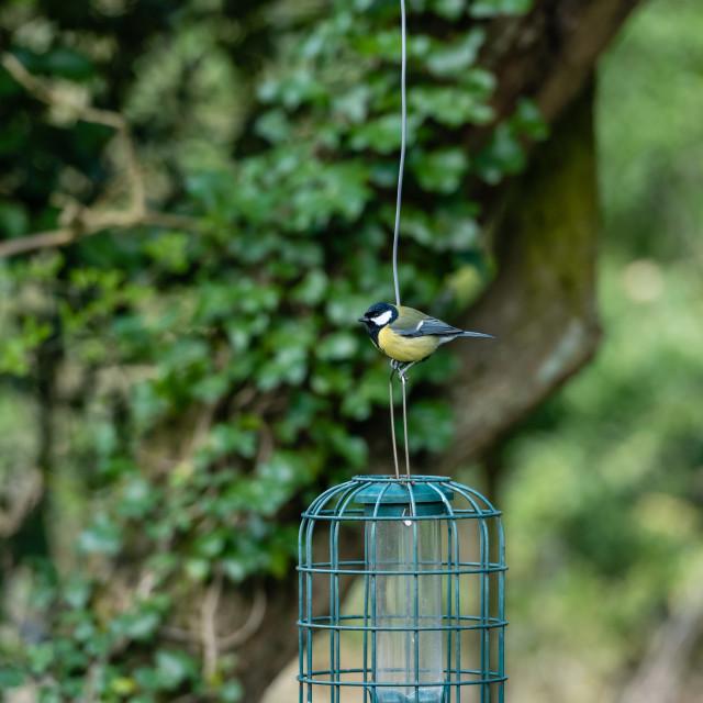 """Great Tit on garden feeder"" stock image"