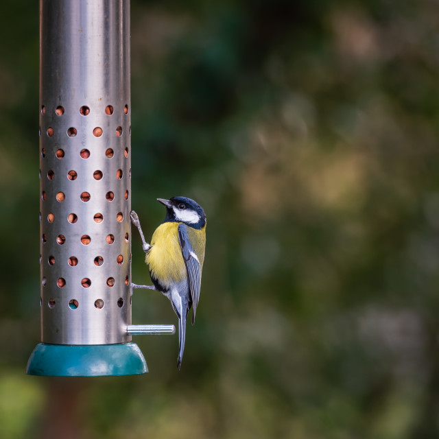 """""""Great Tit hanging on metal bird feeder"""" stock image"""