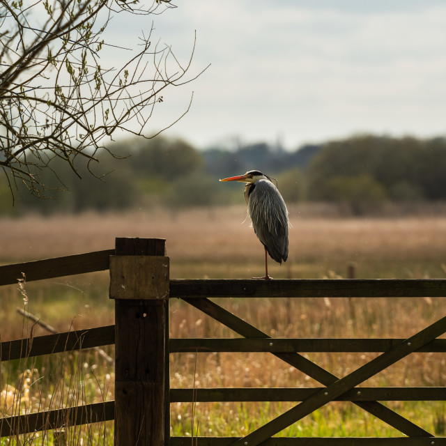 """""""Grey Heron perched on fenland gate"""" stock image"""