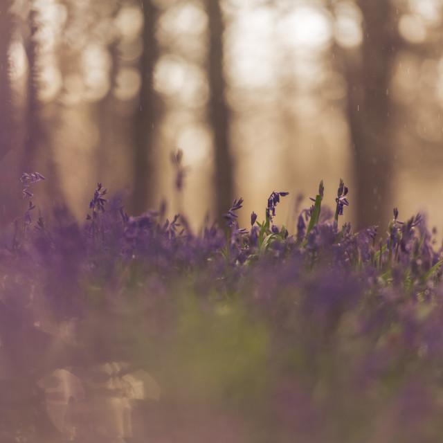 """""""Woodland bluebell study i soft bg trees"""" stock image"""