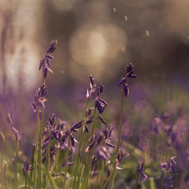 """Woodland bluebell study ii raindrops and soft bg"" stock image"