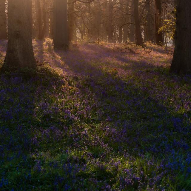 """Morning sun shining through trees in bluebell woodland"" stock image"