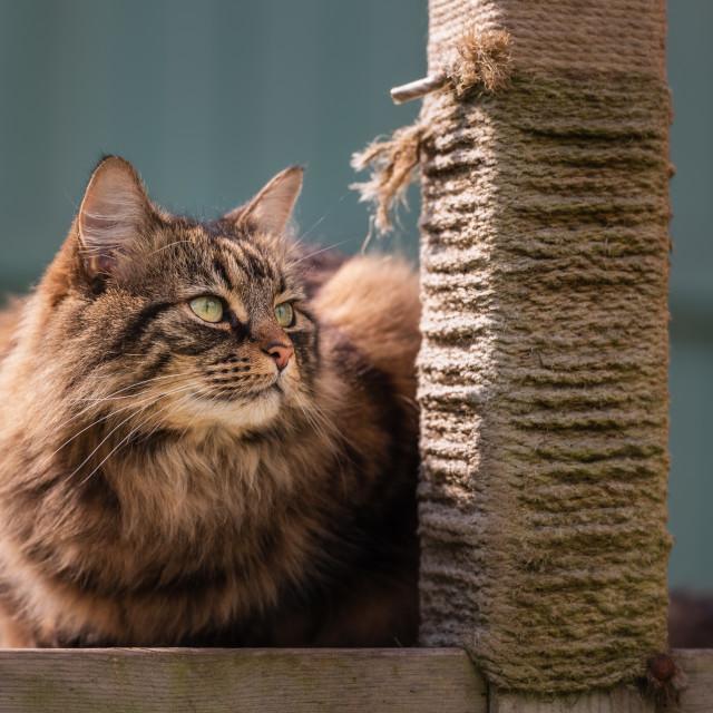 """Tabby cat on garden scratching post platform i"" stock image"