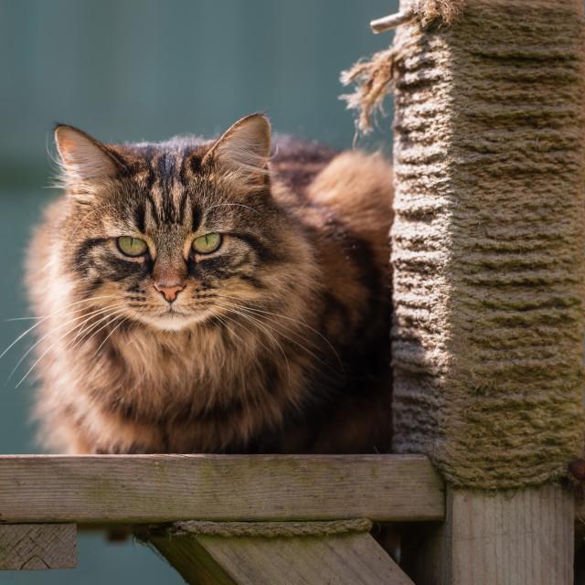 """Tabby cat on garden scratching post platform ii"" stock image"