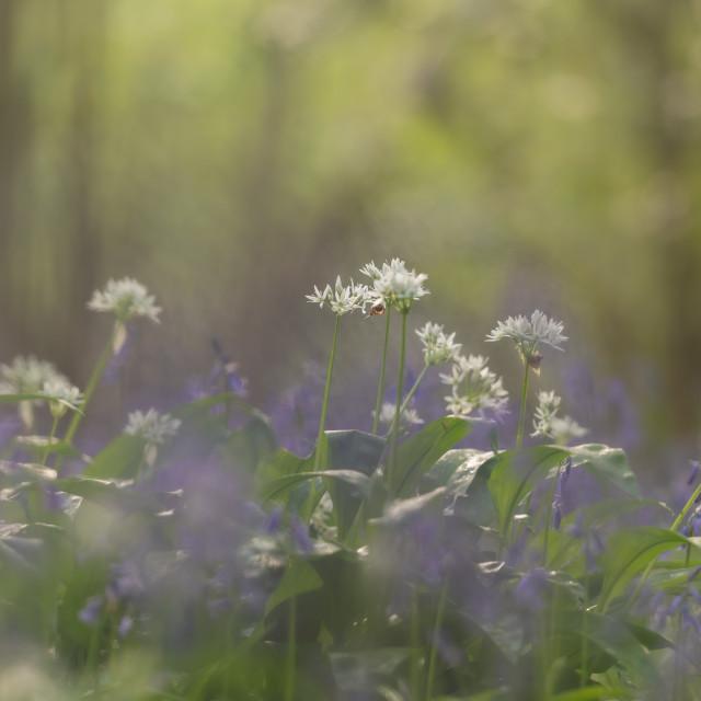 """Wild garlic and bluebells in woodland, soft bg"" stock image"