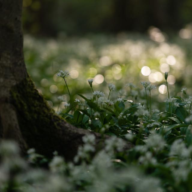 """Wild garlic around tree trunk, bokeh bg"" stock image"