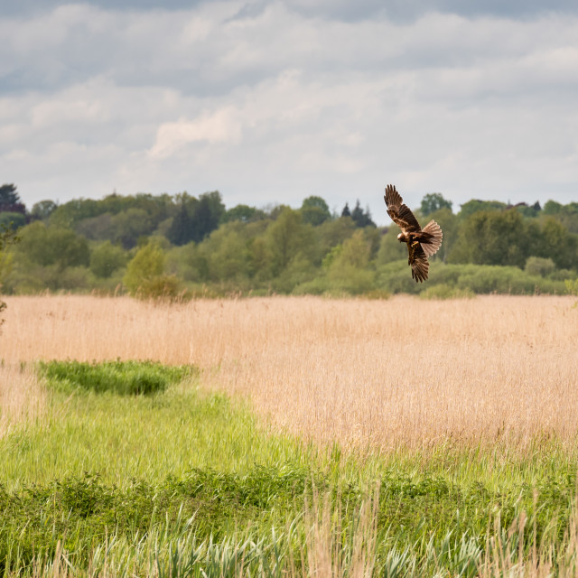 """Marsh Harrier manoeuvering over reedbed ii"" stock image"