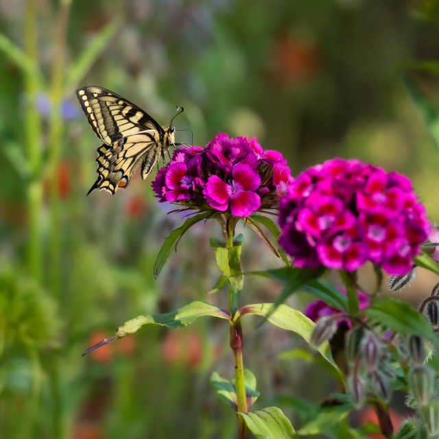"""""""Swallowtail butterfly feeding on pink flowers"""" stock image"""
