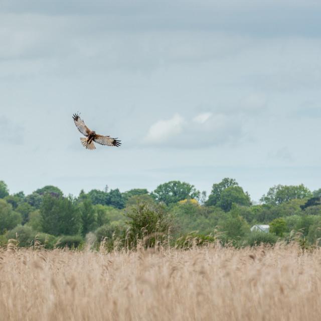"""Marsh Harrier manoeuvering over reedbed i"" stock image"