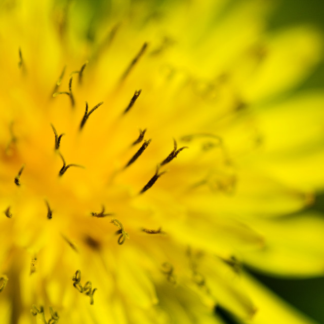"""""""Dandelion flower with natural background"""" stock image"""