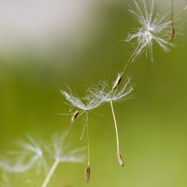 """""""Dandelion seeds with natural background"""" stock image"""