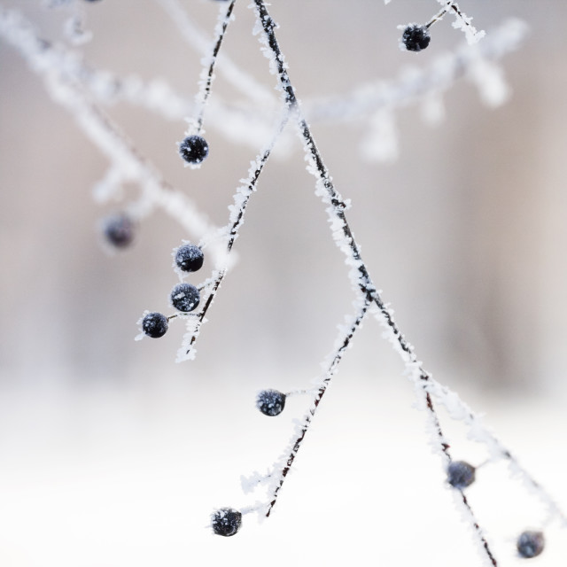 """""""Branches in the winter with hoarfrost"""" stock image"""
