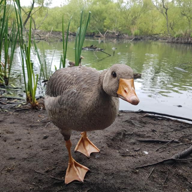 """""""Greylag Goose (Anser anser)"""" stock image"""