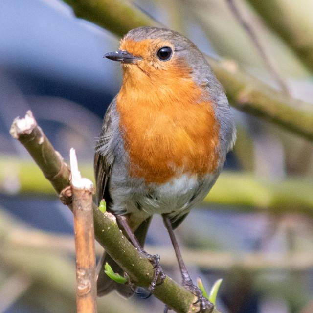 """Robin Portrait"" stock image"