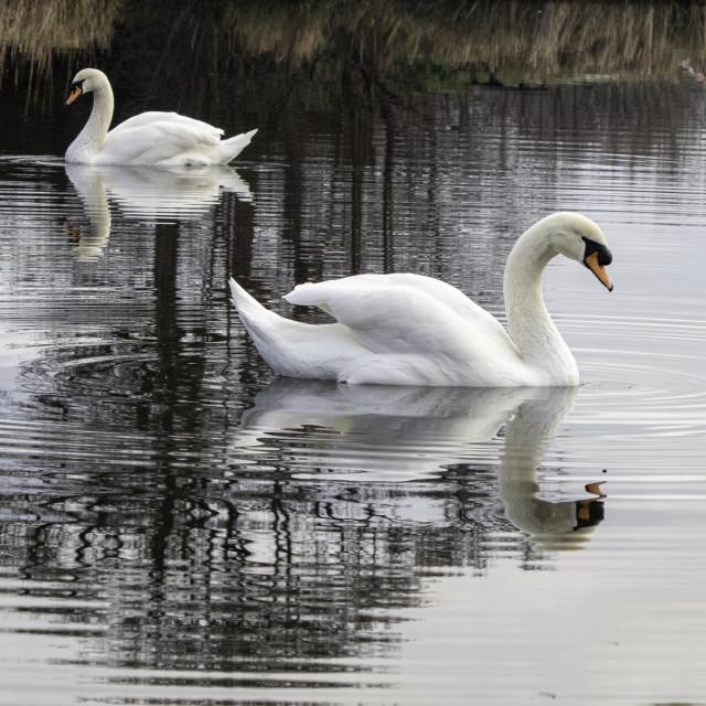 """""""Swans Reflected"""" stock image"""