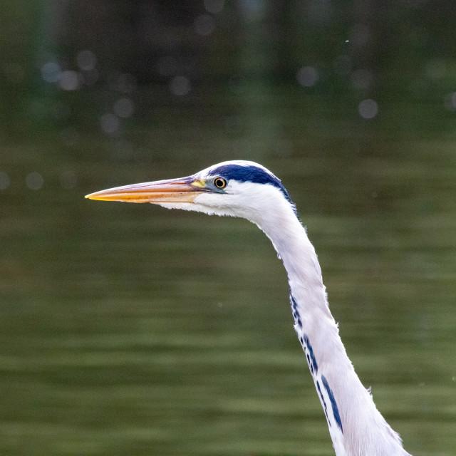 """""""Heron Portrait"""" stock image"""