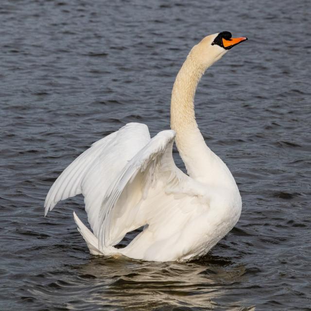 """Swan Portrait"" stock image"
