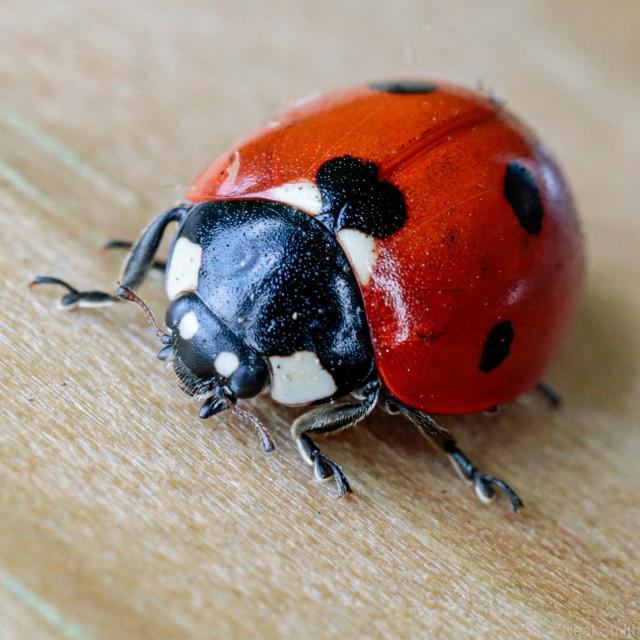 """""""Ladybird Macro"""" stock image"""