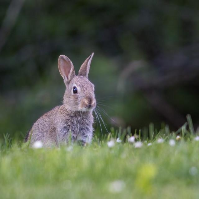 """""""Wild Rabbit"""" stock image"""